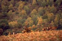 Scottish Roe Buck Red Stag Stalking Scotland